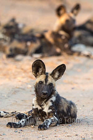 African wild dog (Lycaon pictus) at rest, Kruger national park, South Africa, September 2016