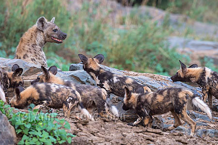 African wild dogs (Lycaon pictus) confronting spotted hyena (Crocuta crocuta), Zimanga private game reserve, KwaZulu-Natal, South Africa, September 2016