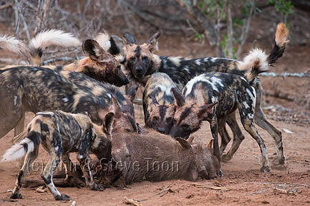 African wild dog (Lycaon pictus) feeding on warthog (Phacochoerus africanus), Zimanga private game reserve, KwaZulu-Natal, South Africa, September 2016