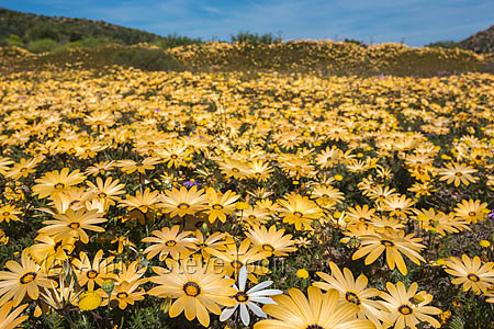 Spring wild flowers, Oudrif farm, Cederberg, Western Cape, South Africa, August 2015