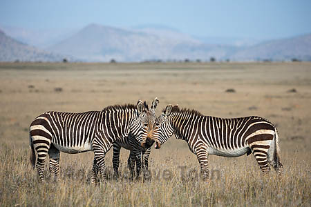 Cape mountain zebra (Equus zebra zebra), Mountain Zebra National Park, Eastern Cape, South Africa, September 2015