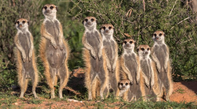 Meet the meerkat mob that stole the show
