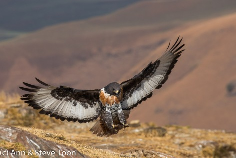 Jackal buzzard landing