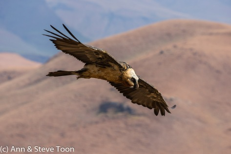 Bearded vulture on the wing
