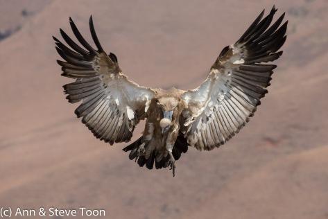 Cape vulture landing, Drakensberg
