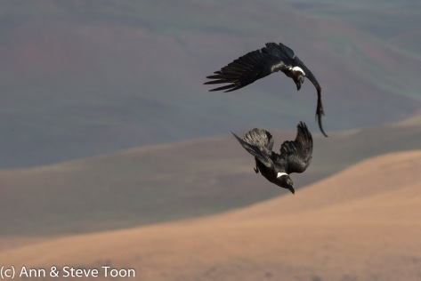 White-necked ravens in flight