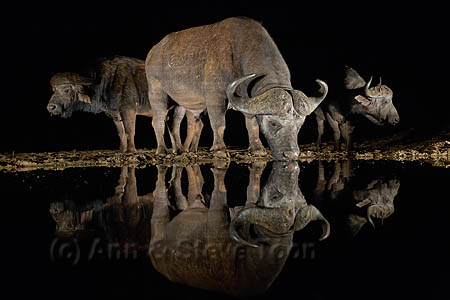 Cape buffalo at night