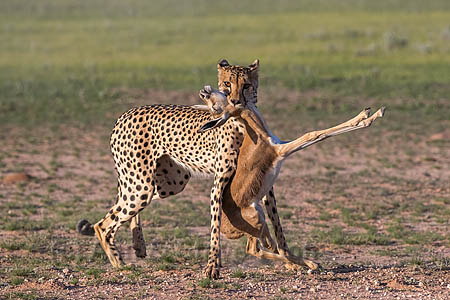 Cheetah with springbok kill