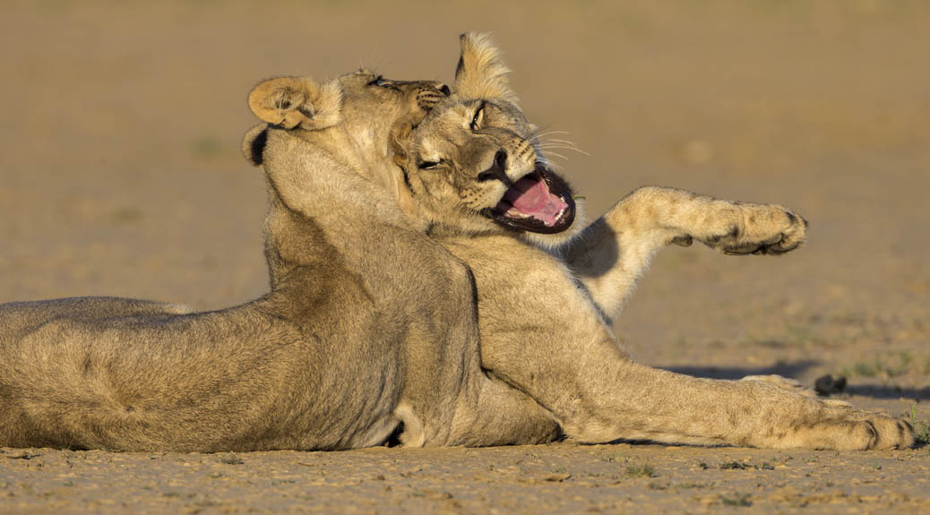 Lions' teen spirit nets us African photo award