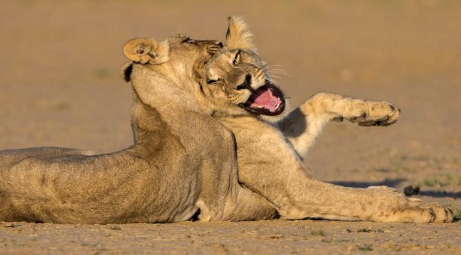 Lions' teen spirit nets us African photo award