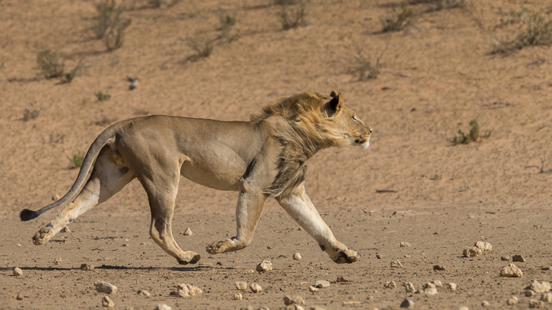 Hot pursuit – Kgalagadi big cats on camera