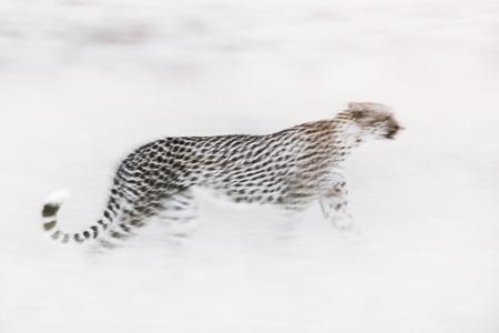 Cheetah, Kgalagadi