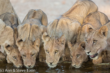 Lions at water, Kgalagadi