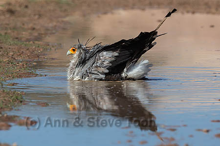 Secretarybird Settling Into A Puddle Right Up To Its Middle For Welcome Bathe