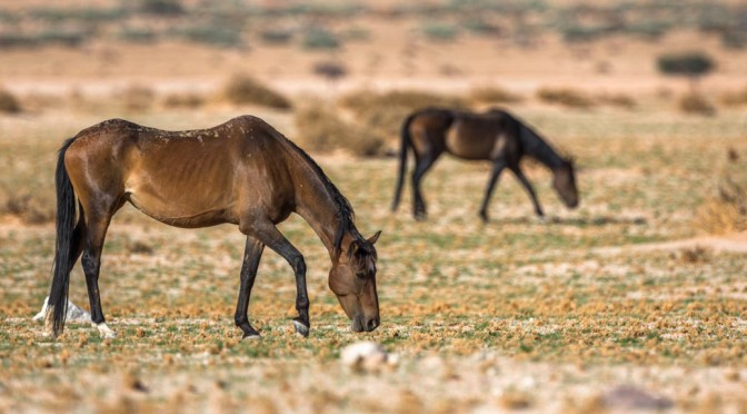 Hope drying up for the Namib's wild horses