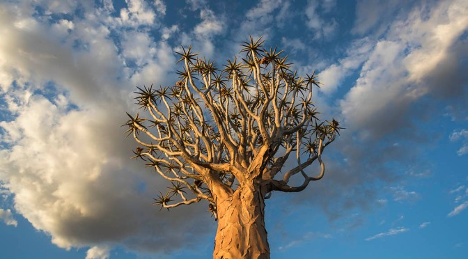 Dream-like quiver trees captivate our cameras