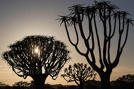 Quiver trees at sunrise
