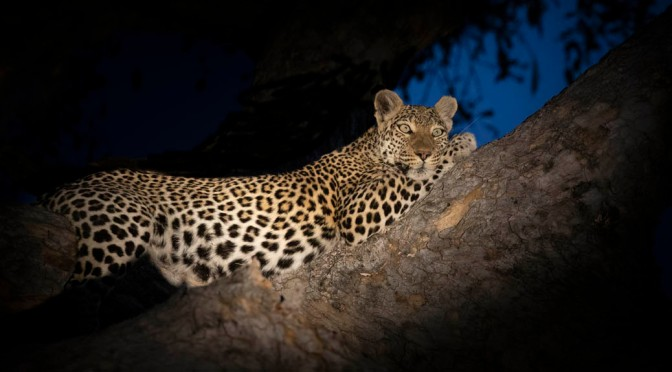 Staying out 'til dark with the big cats of Khwai