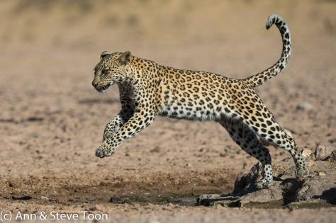 Female leopard, Kgalagadi