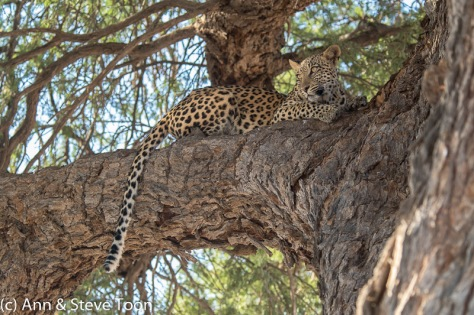 Leopard female resting in tree, Kgalagadi
