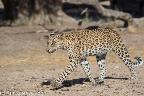 Leopard female, Kgalagadi